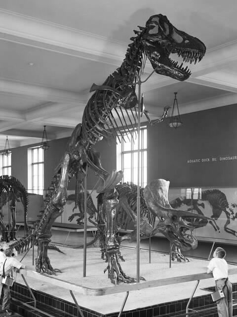 Un squelette de T-Rex au Museum (1960)